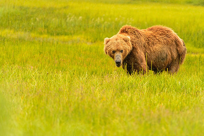 Coastal Brown Brown Bear at Silver Salmon Creek Lodge in Lake Clark National Park Alaska