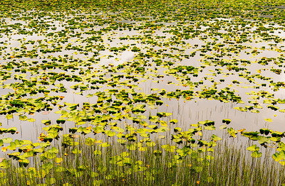 Pond Lillies on the Anchorage to Seward Highway in Alaska