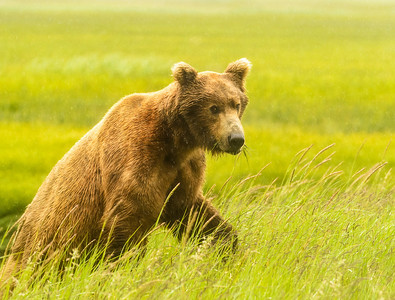 Coastal Brown Bear at Silver Salmon Creek Lodge in Lake Clark National Park Alaska