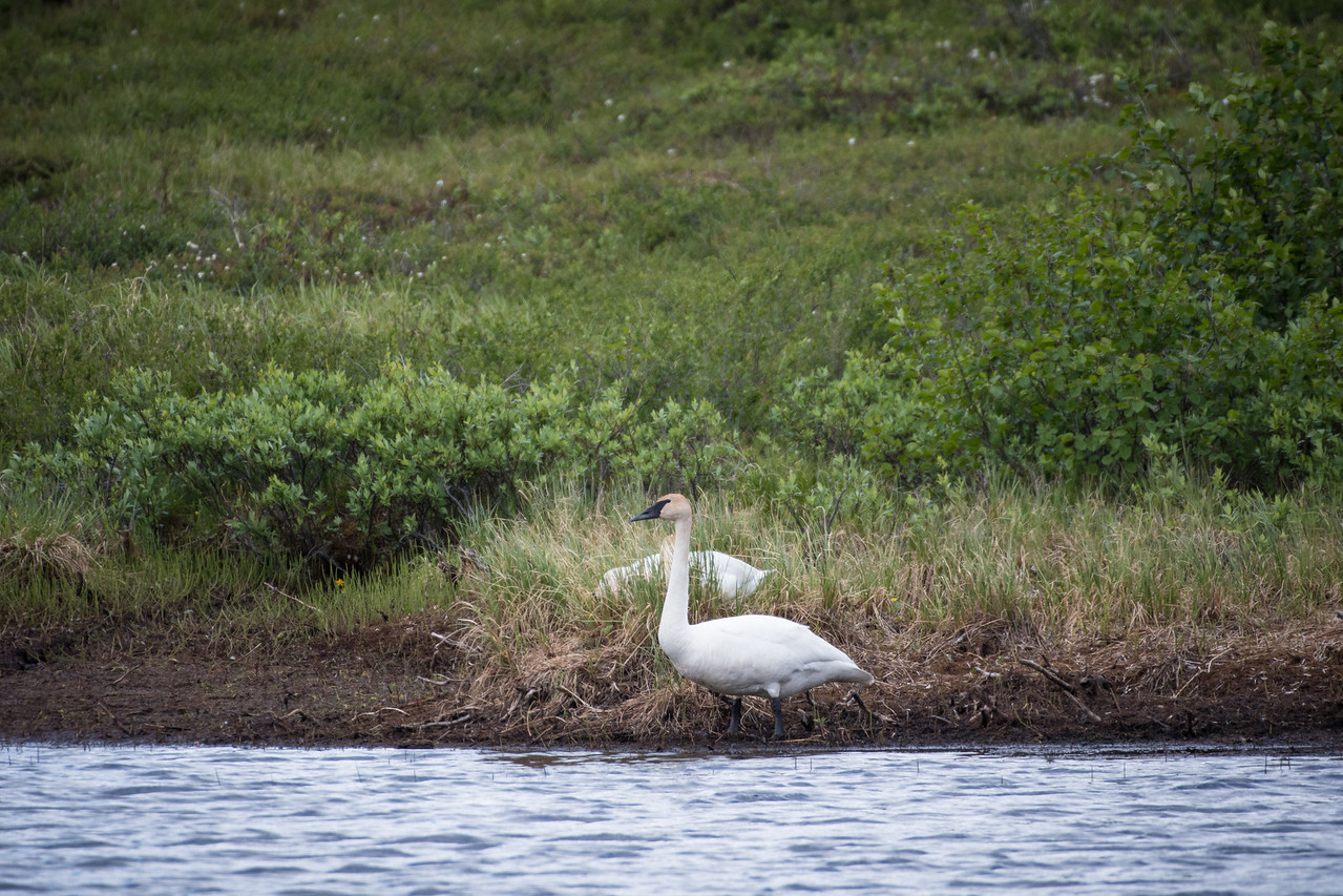 Trumpeter pair on nest