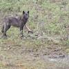 Wolf feeding,  Denali National Park   June 2017