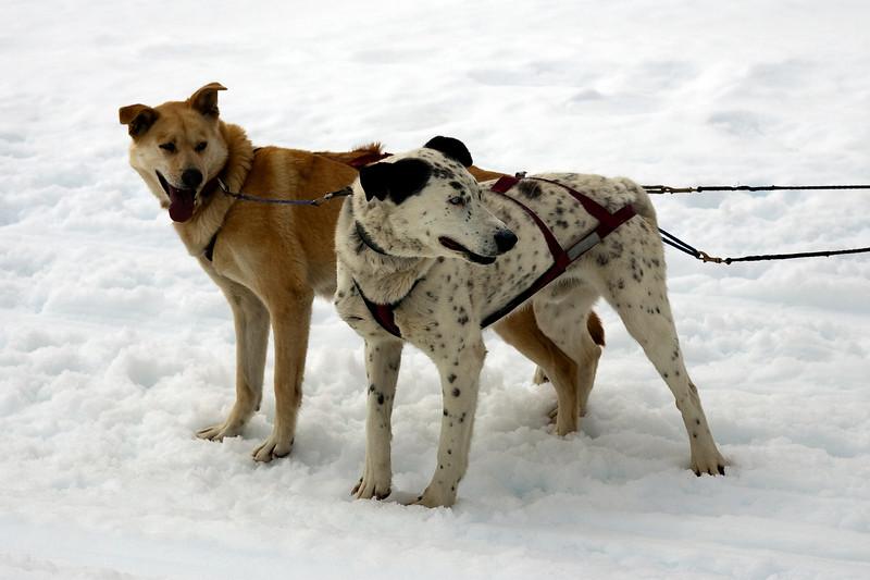 Dog Mush Team - Lead Dogs