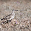 Bristle-thigh Curlew