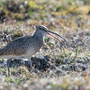 Bristle-thighed Curlew, Nome-Kougarok Road, AK  June 2017