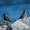Western Sandpipers