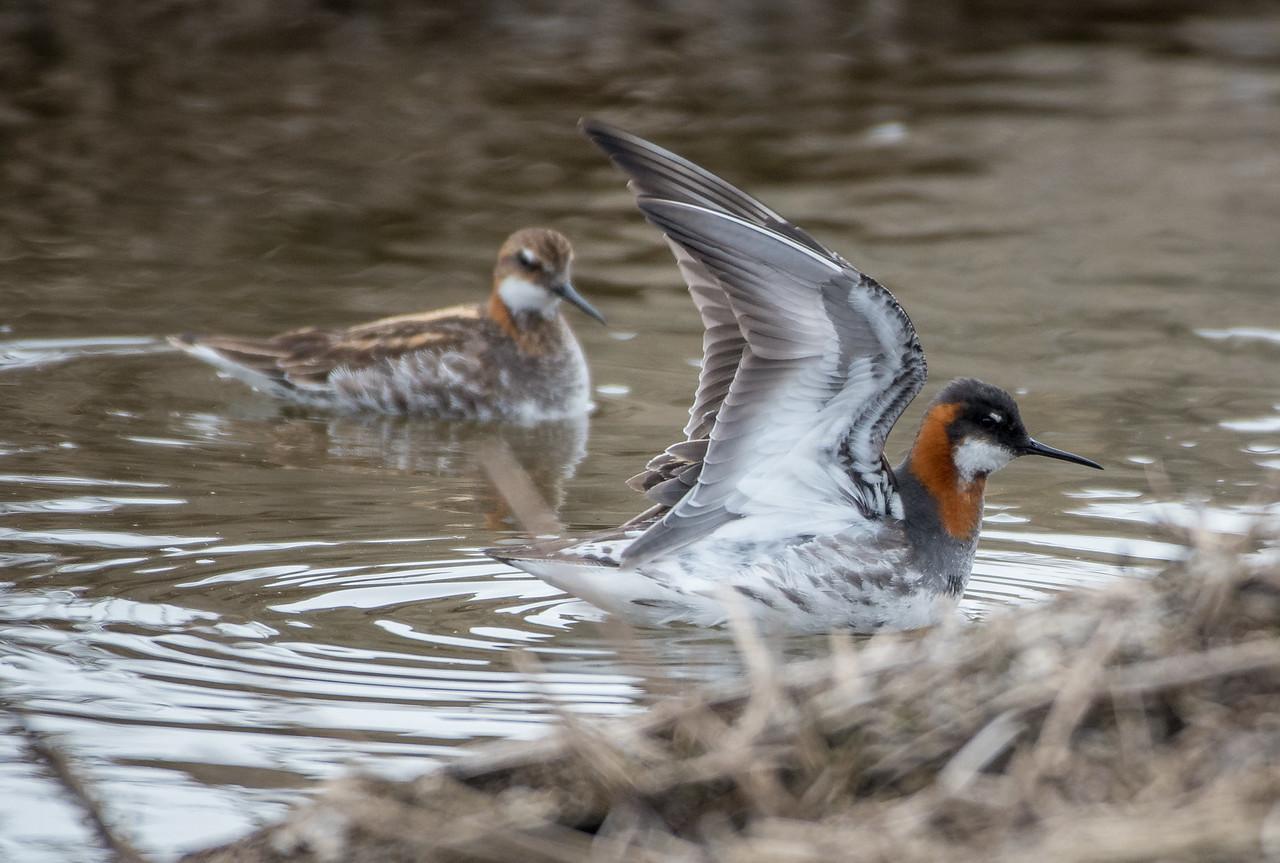 Red-necked Phalarope -- wing up