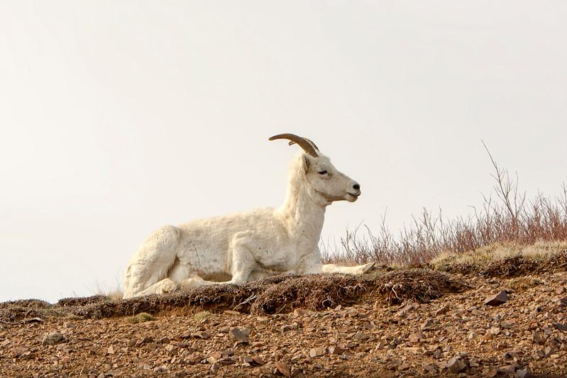 Dall sheep atop mountain
