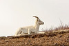 Dall sheep atop mountain