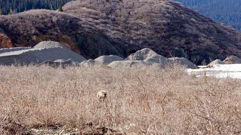 Alaska - Grizzly approaching our Denali tour bus