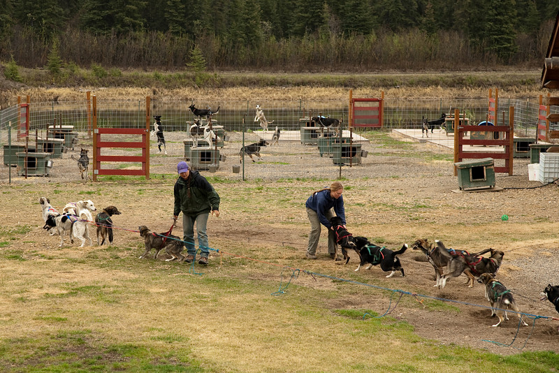 Prepping the dogsled team for a 'snow free' training run