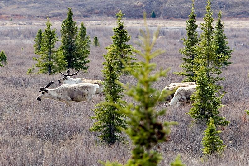 Caribou herd - Denali