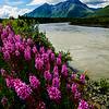 Nenana River Fireweed