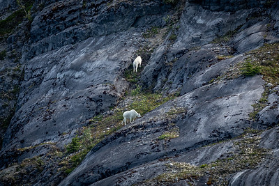 Sheep Glacier Bay, Alaska-5