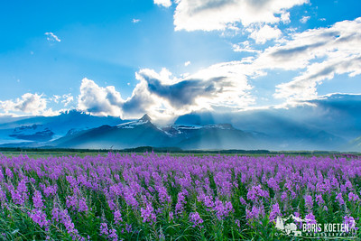 Fireweed in bloom at Hallo Bay, Katmai National Park.