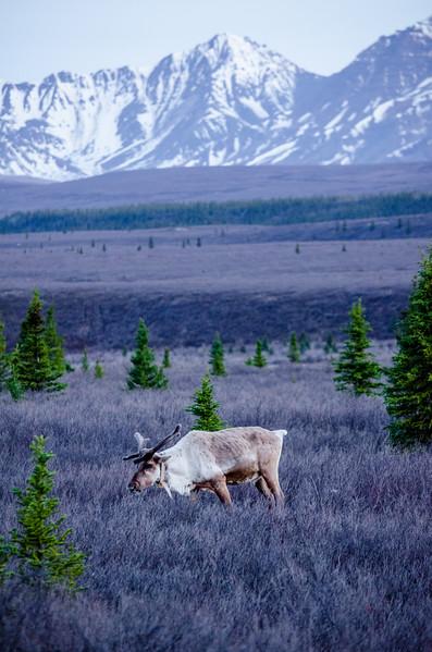 The Caribou Life