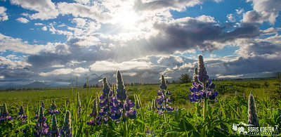 Lupine in bloom at Hallo Bay, Katmai National Park.