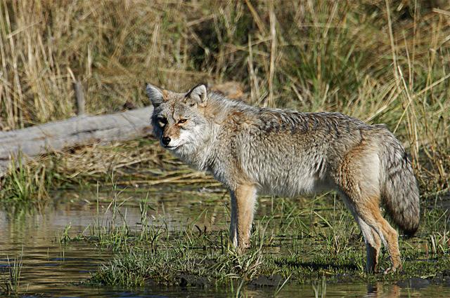 Coyote. John Chapman.