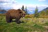 Grizzly Bear. John Chapman.
