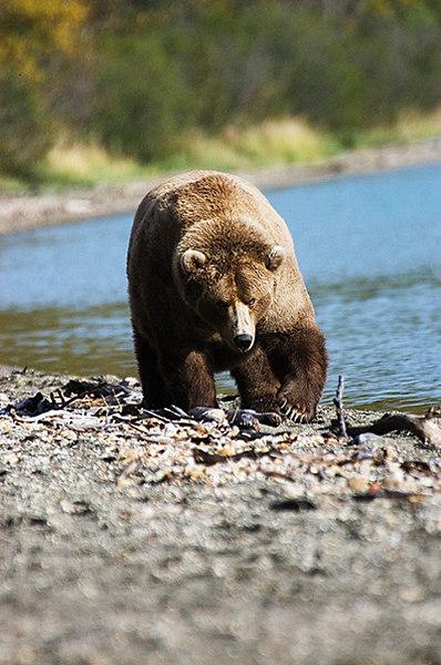 Grisly Bear Foraging., John Chapman.