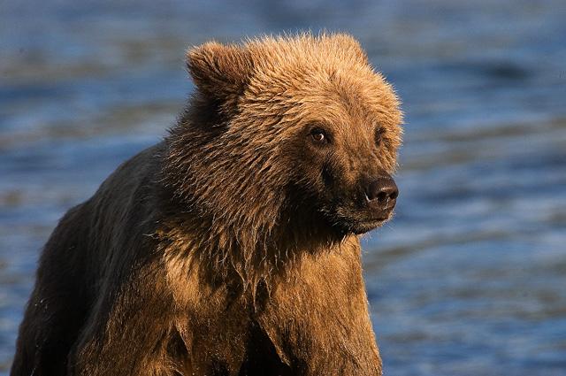 Baby Grissly Bear. John Chapman.