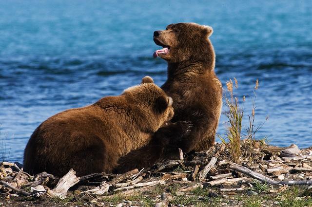 Grissly Bear suckling Cub. John Chapman.