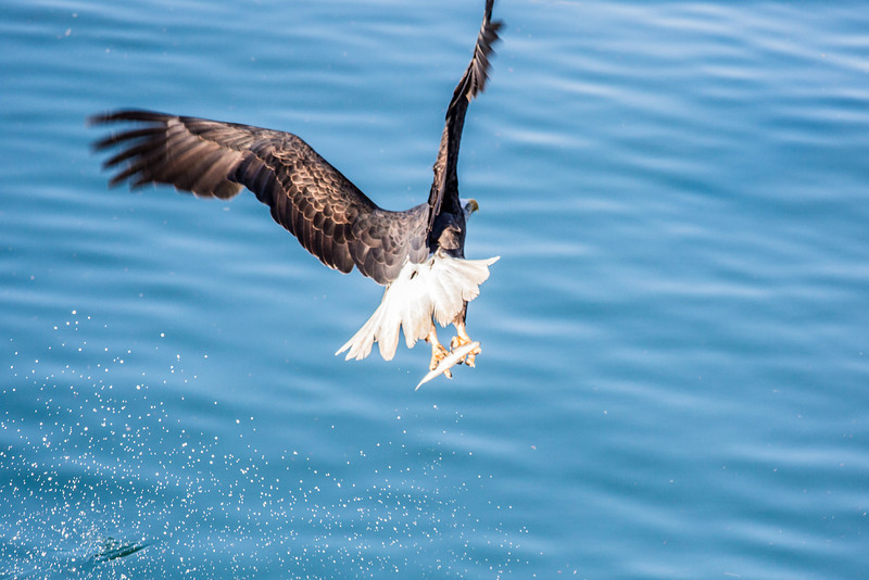 "A bald eagle grabs a herring near downtown Juneau.  <div class=""ss-paypal-button"">Filename: AKA-14-4059-100.jpg</div><div class=""ss-paypal-button-end"" style=""""></div>"