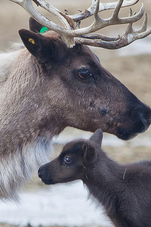 A newborn reindeer stands by its mother in the pen by UAF's Agricultural and Forestry Experiment Station.  Filename: AKA-10-2755-11.jpg