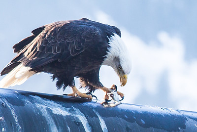 A bald eagle devours a herring from its perch near downtown Juneau.  Filename: AKA-14-4059-109.jpg