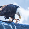 "A bald eagle devours a herring from its perch near downtown Juneau.  <div class=""ss-paypal-button"">Filename: AKA-14-4059-109.jpg</div><div class=""ss-paypal-button-end"" style=""""></div>"