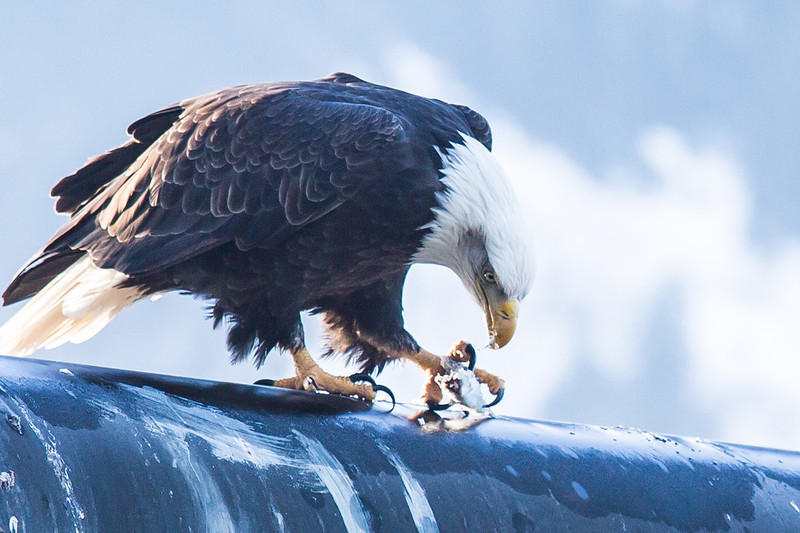 """A bald eagle devours a herring from its perch near downtown Juneau.  <div class=""""ss-paypal-button"""">Filename: AKA-14-4059-109.jpg</div><div class=""""ss-paypal-button-end"""" style=""""""""></div>"""