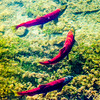 "Migrating sockeye (red) salmon approach their spawning grounds near the headwaters of the Gulkana River near Summit Lake off the Richardson Highway in mid-August.  <div class=""ss-paypal-button"">Filename: AKA-15-4601-189.jpg</div><div class=""ss-paypal-button-end""></div>"