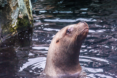 A female sea lion inspects visitors to its home at the Alaska Sea Life Center in Seward.  Filename: AKA-15-4475-237.jpg