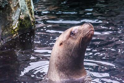 A female sea lion inspects visitors to its home at the Alaska Sea Life Center in Seward.  Filename: AKA-15-4475-237.jpg