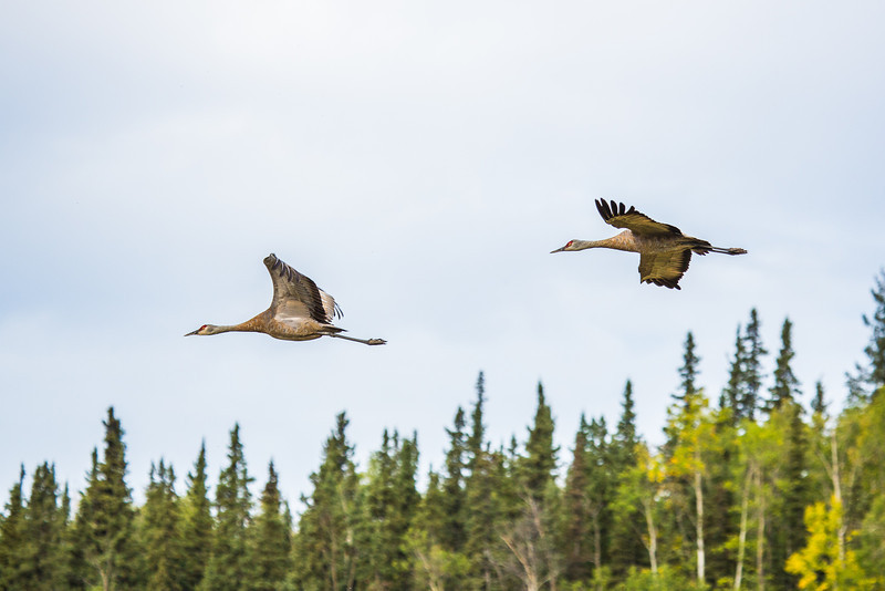"""Sandhill cranes stop off in the field below the Butrovich Building on UAF's West Ridge on their way south for the winter.  <div class=""""ss-paypal-button"""">Filename: AKA-12-3527-33.jpg</div><div class=""""ss-paypal-button-end"""" style=""""""""></div>"""