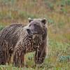 "Photos were taken during three days in August, 2010 within Denali National Park and Preserve.  <div class=""ss-paypal-button"">Filename: AKA-10-2849-026.jpg</div><div class=""ss-paypal-button-end"" style=""""></div>"