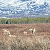 "A few caribou rest not far off the Richardson Highway a few miles south of Delta Junction.  <div class=""ss-paypal-button"">Filename: AKA-13-3845-118.jpg</div><div class=""ss-paypal-button-end"" style=""""></div>"