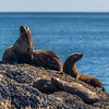 "Sea lions bask in the sun on rocks in Resurrection Bay near Seward.  <div class=""ss-paypal-button"">Filename: AKA-13-3901-74.jpg</div><div class=""ss-paypal-button-end"" style=""""></div>"
