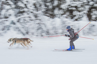 Members of the Alaska Skijor & Pulk Association race on the UAF ski trails during a scheduled event in Feb., 2013.  Filename: AKA-13-3731-73.jpg