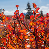 "The ground cover in Denali National Park and Preserve takes on brilliant color in September.  <div class=""ss-paypal-button"">Filename: AKA-13-3942-17.jpg</div><div class=""ss-paypal-button-end"" style=""""></div>"