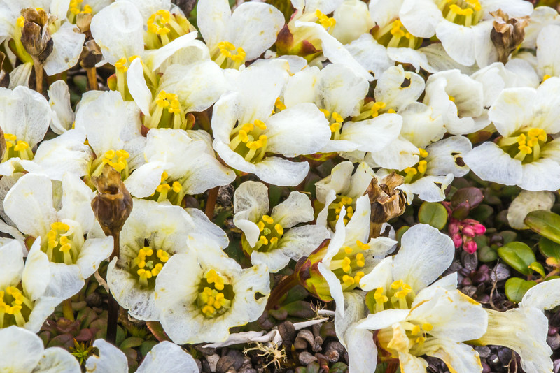 """An assortment of wild flowers flourish during the brief summer on Alaska's north slope.  <div class=""""ss-paypal-button"""">Filename: AKA-14-4218-084.jpg</div><div class=""""ss-paypal-button-end""""></div>"""