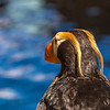 "A tufted puffin is one of many sea birds visitors can watch up close at the Alaska Sea Life Center in Seward.  <div class=""ss-paypal-button"">Filename: AKA-13-3901-59.jpg</div><div class=""ss-paypal-button-end"" style=""""></div>"