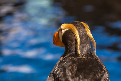 A tufted puffin is one of many sea birds visitors can watch up close at the Alaska Sea Life Center in Seward.  Filename: AKA-13-3901-59.jpg