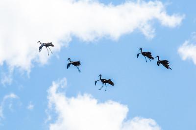 Migrating sandhill cranes prepare for landing near the Fairbanks campus before their long journey south.  Filename: AKA-14-4265-42.jpg