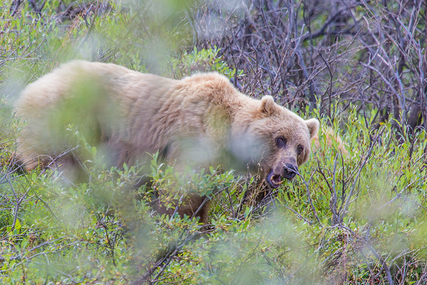 """A female grizzly bear seen from the road in Denali National Park and Preserve.  <div class=""""ss-paypal-button"""">Filename: AKA-13-3899-28.jpg</div><div class=""""ss-paypal-button-end"""" style=""""""""></div>"""