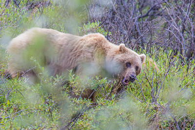 A female grizzly bear seen from the road in Denali National Park and Preserve.  Filename: AKA-13-3899-28.jpg