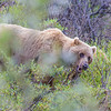 "A female grizzly bear seen from the road in Denali National Park and Preserve.  <div class=""ss-paypal-button"">Filename: AKA-13-3899-28.jpg</div><div class=""ss-paypal-button-end"" style=""""></div>"