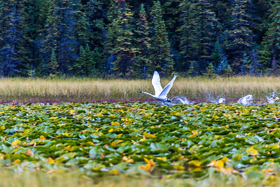 A swan takes off from a small pond in Alaska's Copper River Valley.  Filename: AKA-15-4601-136.jpg
