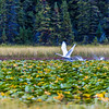 "A swan takes off from a small pond in Alaska's Copper River Valley.  <div class=""ss-paypal-button"">Filename: AKA-15-4601-136.jpg</div><div class=""ss-paypal-button-end""></div>"