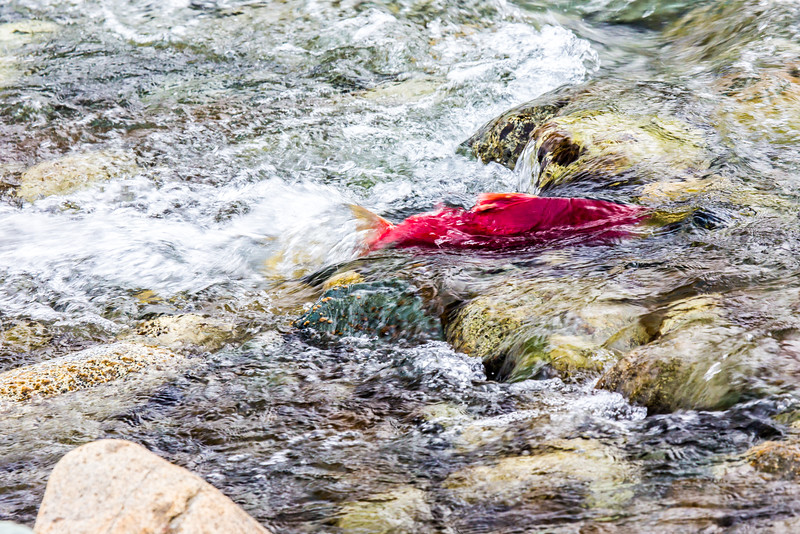 """A sockeye salmon returns from years in the ocean to its home in Alaska's Interior before spawning near the headwaters of the Gulkana River.  <div class=""""ss-paypal-button"""">Filename: AKA-15-4601-052.jpg</div><div class=""""ss-paypal-button-end""""></div>"""