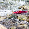 "A sockeye salmon returns from years in the ocean to its home in Alaska's Interior before spawning near the headwaters of the Gulkana River.  <div class=""ss-paypal-button"">Filename: AKA-15-4601-052.jpg</div><div class=""ss-paypal-button-end""></div>"